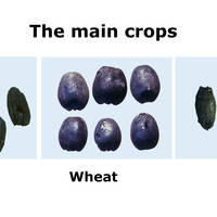 Aligrama: archaeological grains of the additional crops - lentils, flax and grapevine